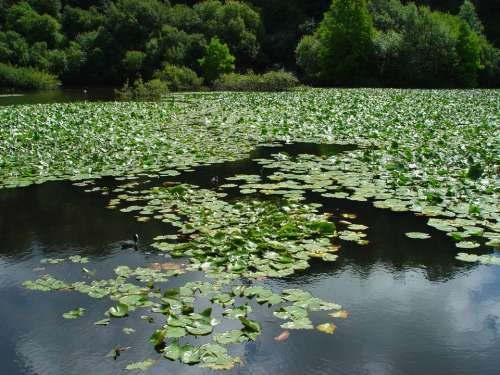 Brest Botanical Garden Lake Aquatic Plants Brittany