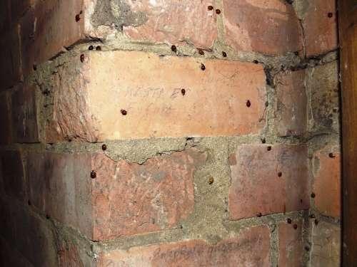 Bricks Wall Corner Beetle Insect Infestation