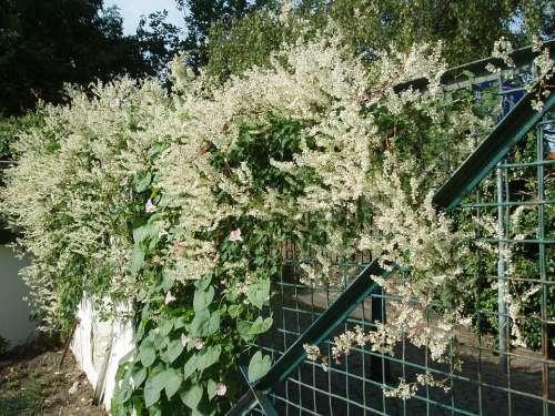 Bridal Veil Knotweed Hedge