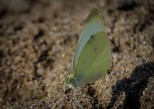 Brimstone Butterfly Butterfly Insect Bug Animal