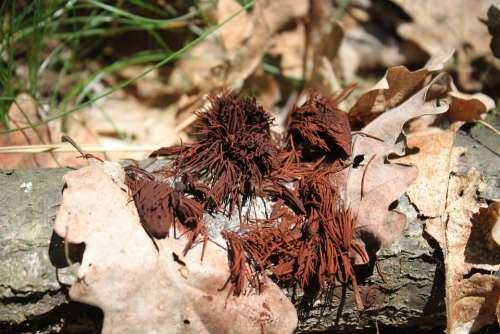 Brown Chocolate Fungi Fungus Hairs Pipe Sporing