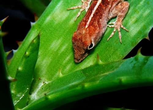 Brown Anole Anolis Sagrei Lizard Aloe Plant Brown