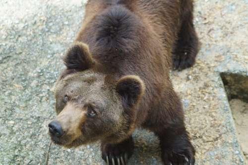Brown Bear Bear Wild Animal Predator Animal