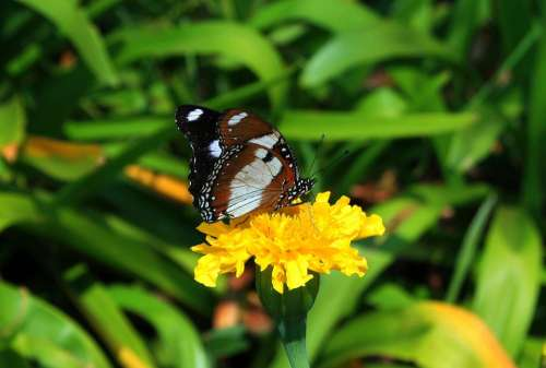 Brown Butterfly Butterfly Insect Lepidoptera Brown