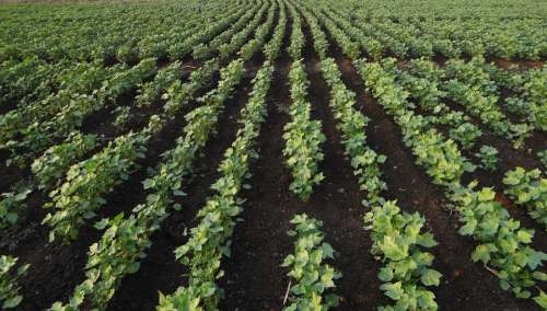 Bt Cotton Highyielding Seedlings Plants Agriculture