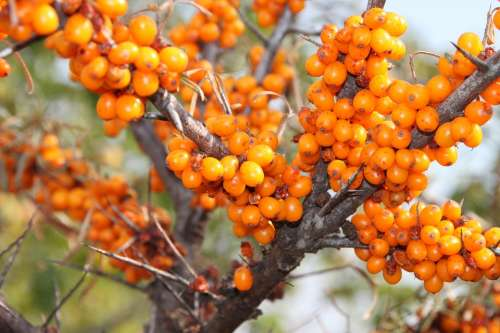 Buckthorn Fruits Healthy Sea Thistles Vitamins