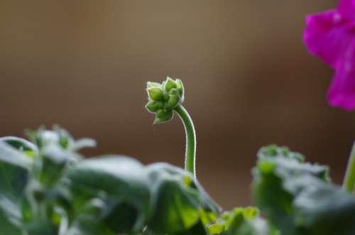 Bud Geranium Flora Spring Flower Gardening Growth