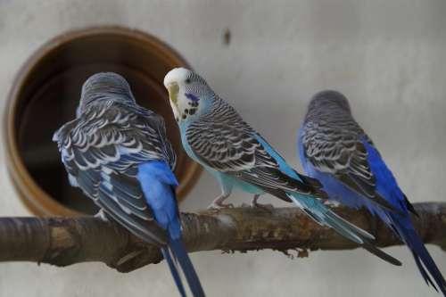 Budgerigars Parakeets Pets Animal World