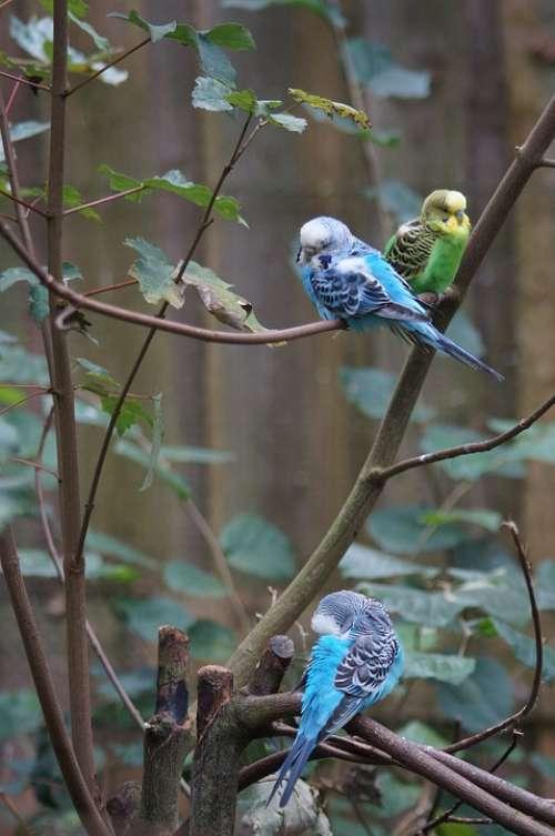 Budgerigars Canaries Birds Animal World Parakeets