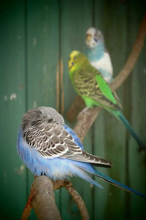 Budgie Colors Young Family Rest