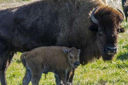 Buffalo Calf Farm Rural Baby Animal Bison Field