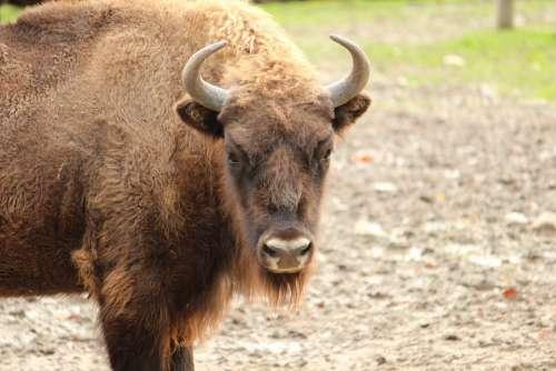 Buffalo Skull Horn Animal Brown