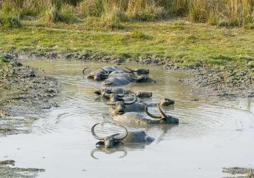 Buffalo Asiatic Wild Mud Animal Kaziranga