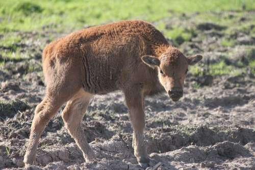 Buffalo Young Buffalo Baby Buffalo Calf Young