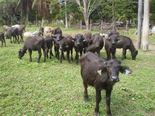 Buffalo Marajoara Pará