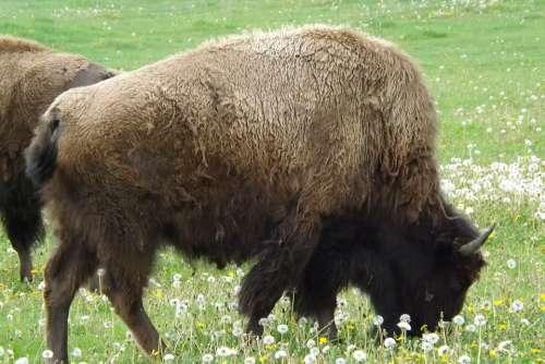 Buffalo Bison Western West Plains American Wild