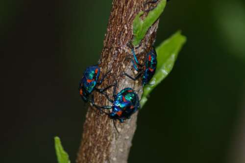 Bug Insect Blue Red Beetle Bug Insect Nature