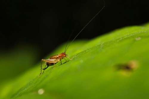 Bug Cricket Leaf Insect Nature Macro Wildlife