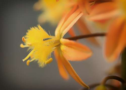 Bulbine Frutescens Flower Orange Close-Up Macro
