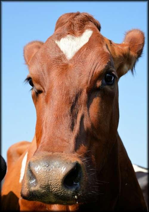 Bull Farm Cattle Cow Animal Animals