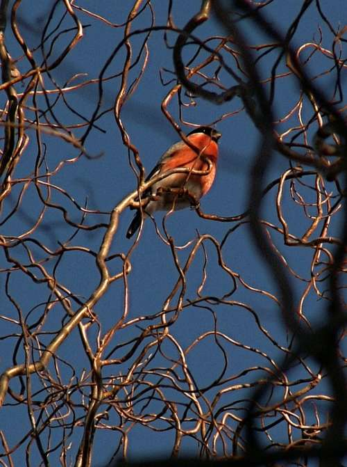 Bullfinch Bird Branches Twisted Willow Sky Blue