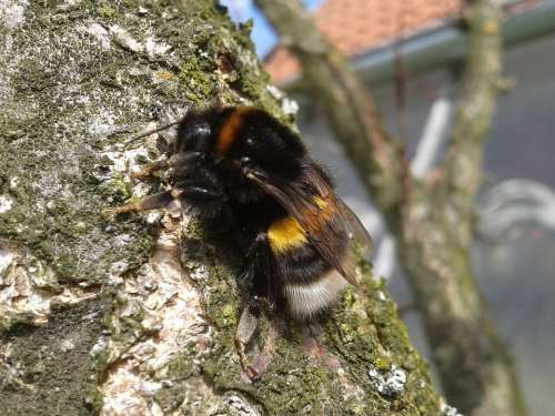 Bumble-Bee Tree Nature Wings Freedom