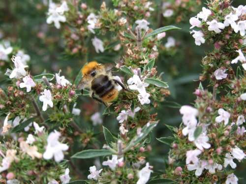 Bumble-Bee Savory Herb Spices Plant Insect