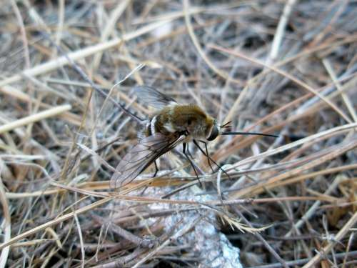 Bumblebee Insect Insects Animals