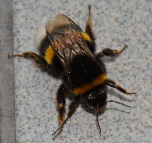 Bumblebee Bug Animal