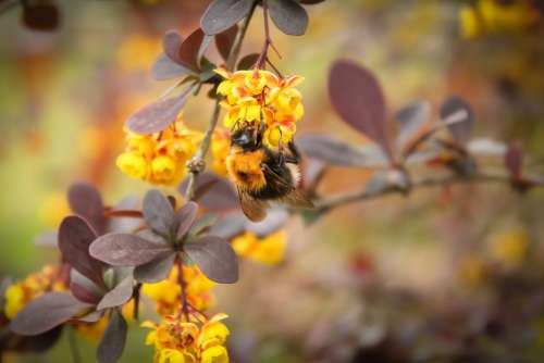 Bumblebee Plant Macro Flower Yellow Wildflower