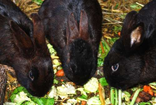 Bunnies Bunny Rabbits Coney Cony Farm Animal