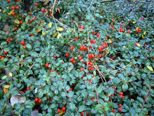 Bush Ground Cover Berry Berries Red