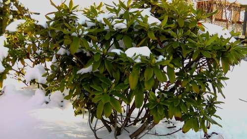Bush Winter Icy Snow Cold Green Nature Plant
