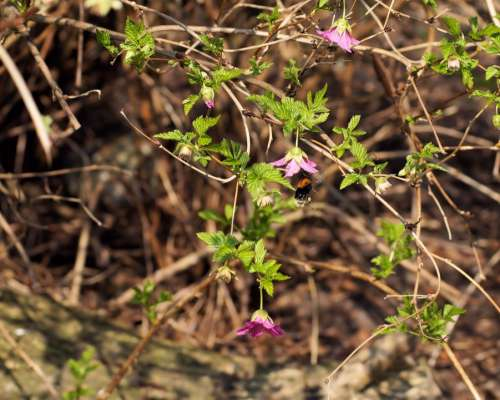Bush Blossom Bloom Purple Hummel Flying Insect