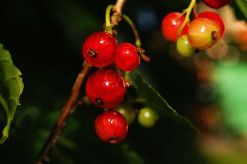 Bush Currants Fruit Vitamins Sour Red Food