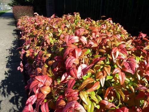 Bushes Hedge Landscape Plants Beautiful Hedges