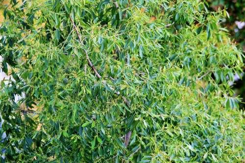 Busman'S Tea Tree Tree Bushman'S Tea Green Foliage