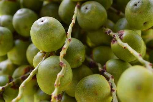 Butia Fruit Green