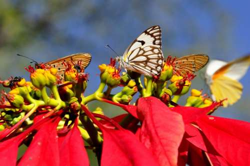 Butterflies Insect Butterfly Poinsettia Zimbabwe