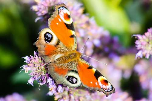 Butterfly Animals Nature Colorful Insect Peacock