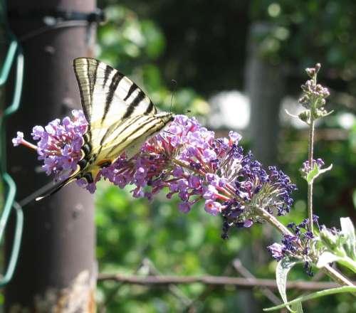 Butterfly Butterflies Swallow Tailed Moth
