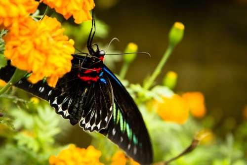 Butterfly Flower Trogonoptera Brookiana
