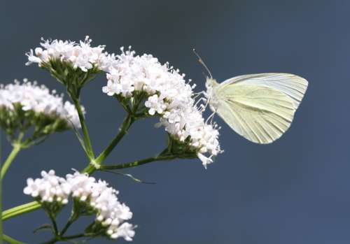 Butterfly Insect Animal Flower Nature White