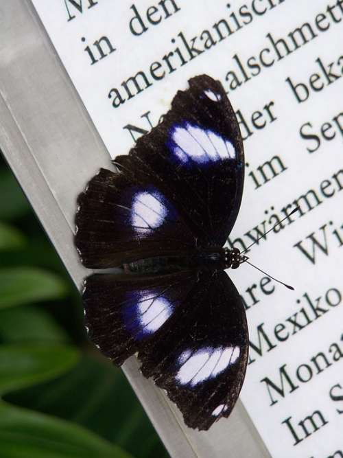Butterfly Wing Insect