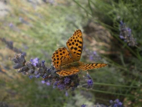 Butterfly Lavender Orange Flower Nature Colognac