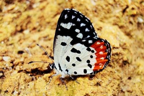 Butterfly Rhopalocera Deltota Sri Lanka Mawanella
