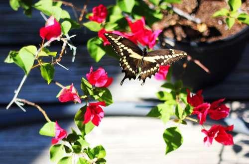 Butterfly Backyard Bougainvillea Pink Flowers Plant