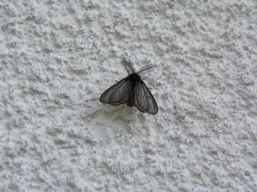 Butterfly Black Animal Insect Wing