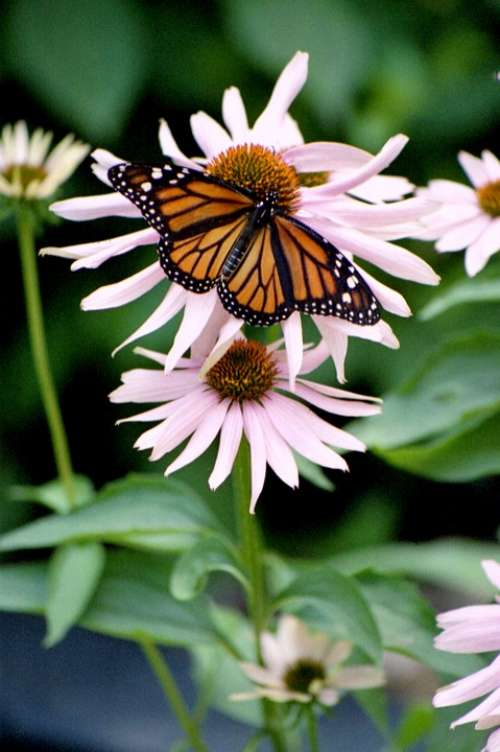 Butterfly Insect Monarch