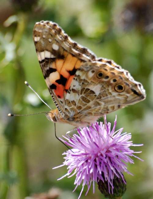 Butterfly Insect Thistle Wild Flower Close-Up